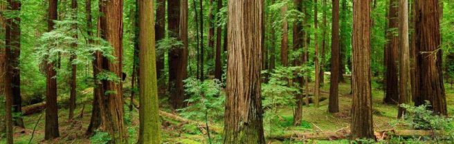 cropped-redwoods.jpg
